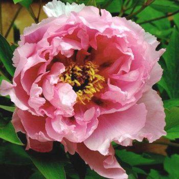Пион древовидный Розовый Лотос-1