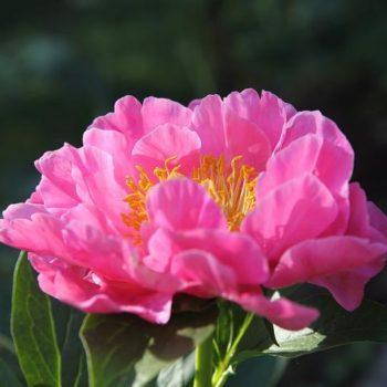 Пион Роял роуз-2
