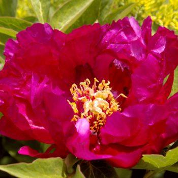 Пион древовидный Цветы Дракона-1