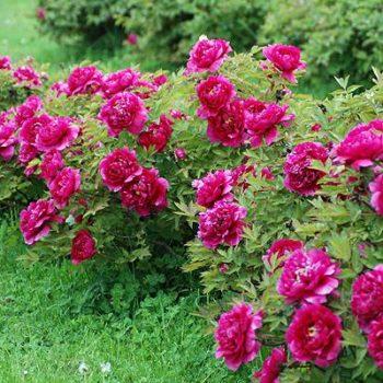 Пион древовидный Цветы Дракона-2