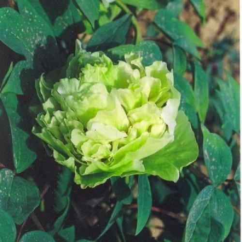 Пион древовидный Зеленые Бобы