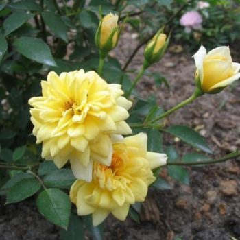Роза бордюрная Райзен Шайн-1