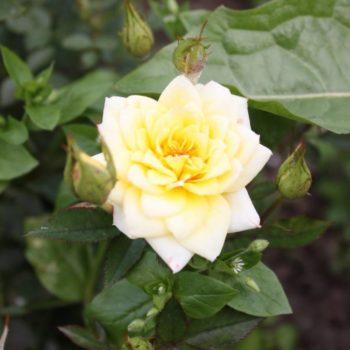 Роза бордюрная Райзен Шайн-2