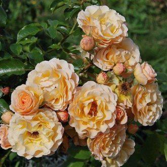 Роза бордюрная Ребекка
