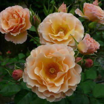Роза бордюрная Ребекка-1