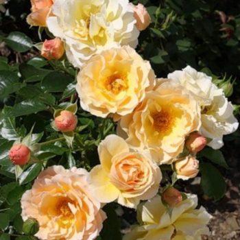 Роза бордюрная Ребекка-2