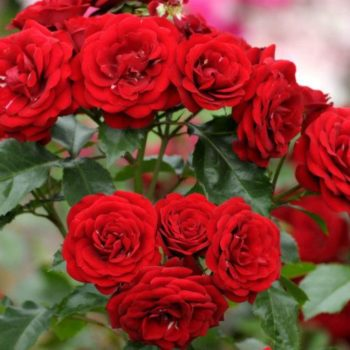 Роза бордюрная Ред Хард-1