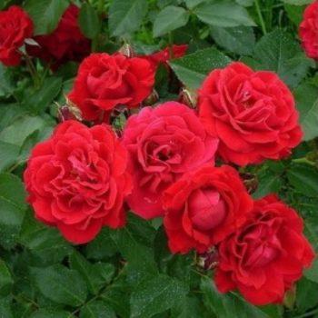 Роза бордюрная Ред Хард-2