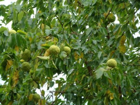 Маклюра (Адамово яблоко)-1