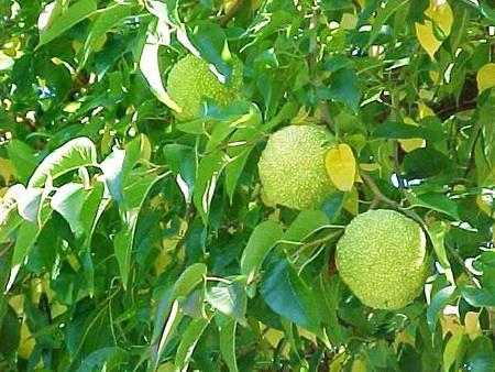 Маклюра (Адамово яблоко)-3