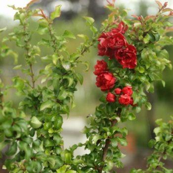 Айва  японская red joy-1