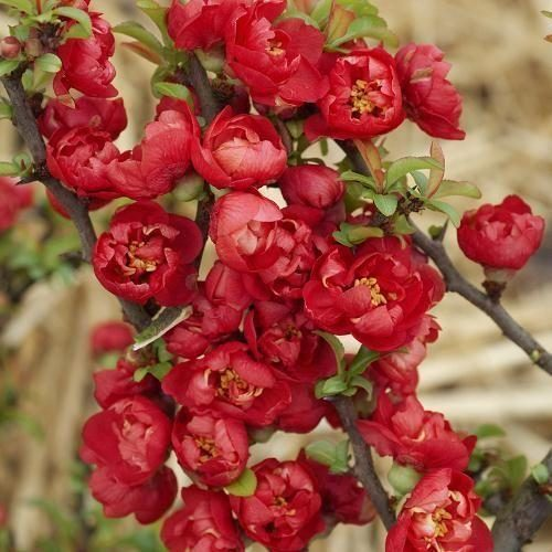 Айва  японская red joy