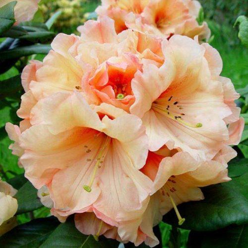 Азалия гибридная apricot