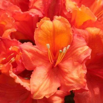 Азалия гибридная apricot-1