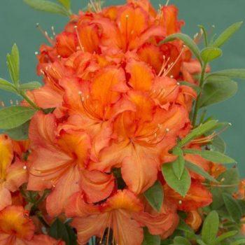 Азалия гибридная apricot-2