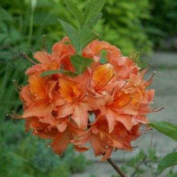 Азалия гибридная mandarin lights-1