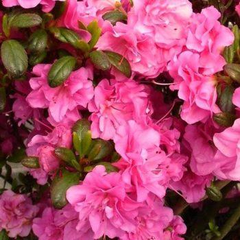 Азалия гибридная petticoat-1