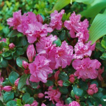 Азалия гибридная petticoat-2