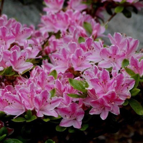 Азалия японская kermesina rose