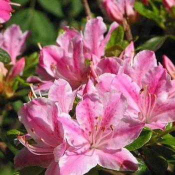 Азалия японская kermesina rose-1