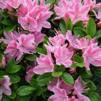 Азалия японская kermesina rose-2