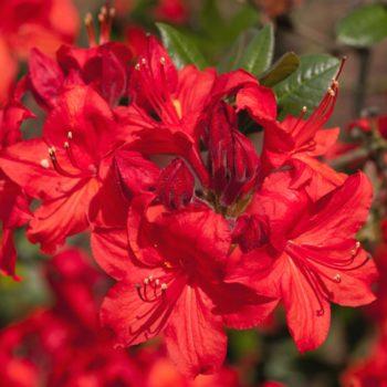 Азалия японская multiflora-1