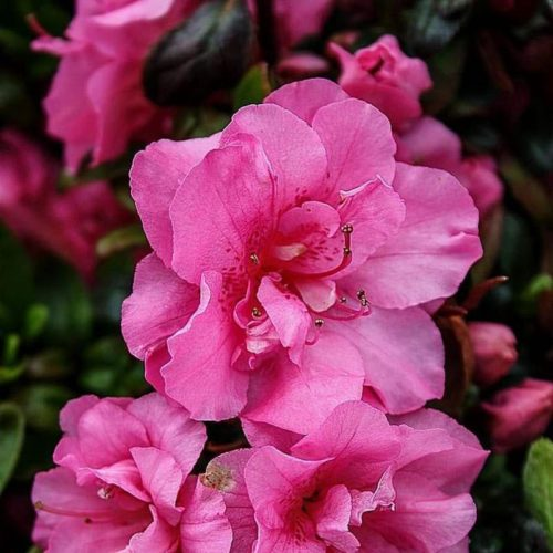 Азалия японская rosalind