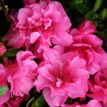 Азалия японская rosalind-1