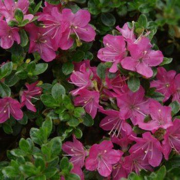 Азалия японская rosalind-2