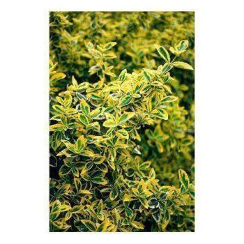 Бересклет форчуна emerald n gold-1