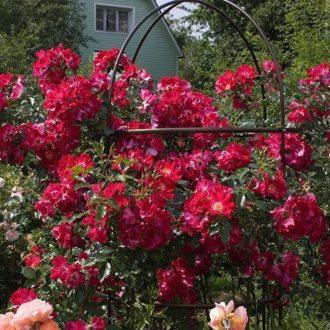 Роза Плетистая Dortmund