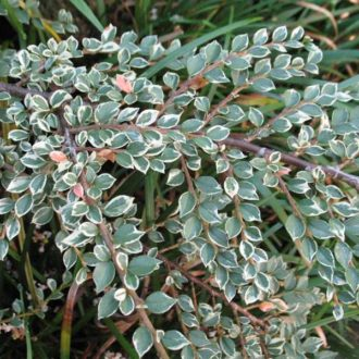 Кизильник variegata