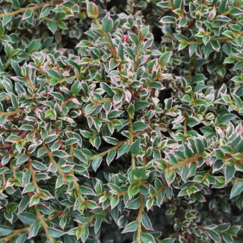 Кизильник variegata-1