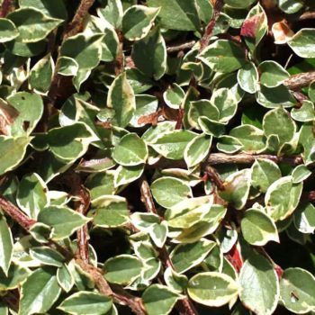Кизильник variegata-2