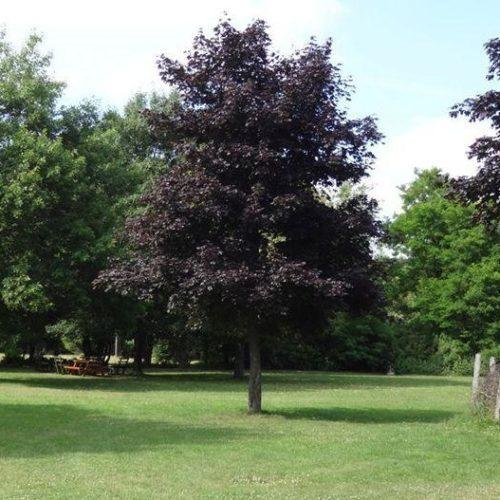 Клен ясенелистный faassen's black