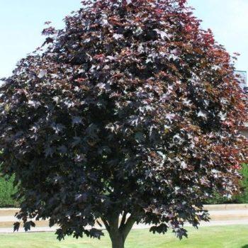 Клен ясенелистный faassen's black-2