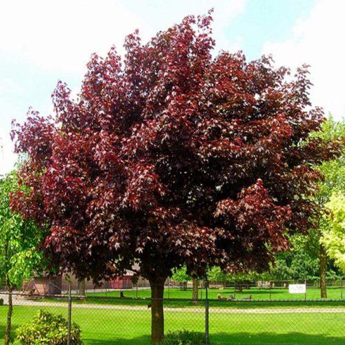 Клен ясенелистный royal red