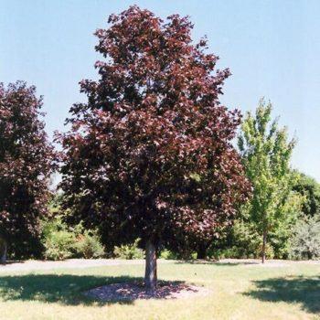 Клен ясенелистный royal red-2