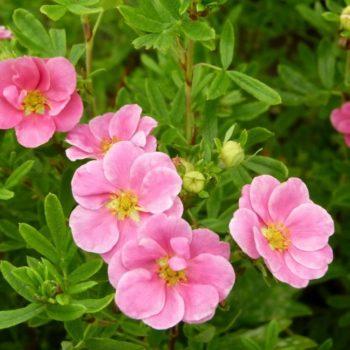 Лапчатка кустарниковая pink queen-1