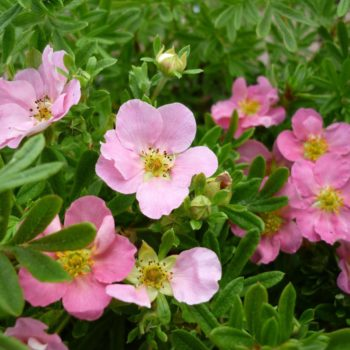 Лапчатка кустарниковая pink queen-2