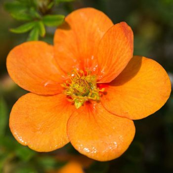 Лапчатка кустарниковая tangerine-1