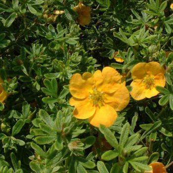 Лапчатка кустарниковая tangerine-2