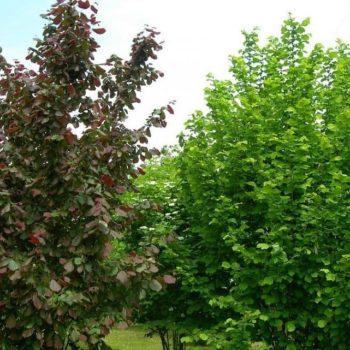 Лещина обыкновенная садовый ранний-1