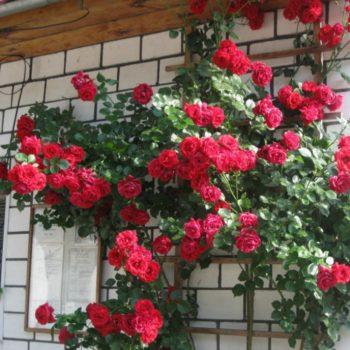 Роза плетистая Naheglut-1