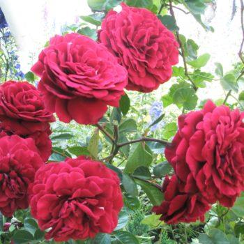 Роза плетистая Naheglut-2