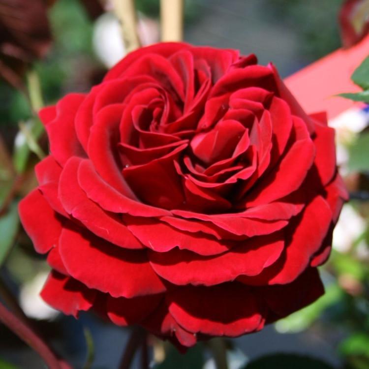 Картинки бордовых махровых роз
