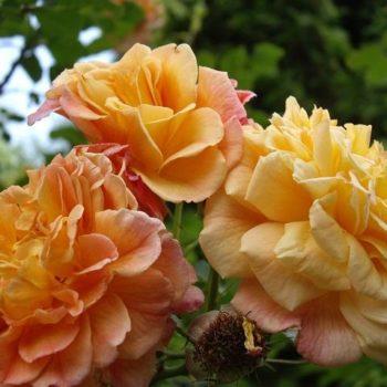 Роза Плетистая Aloha-1
