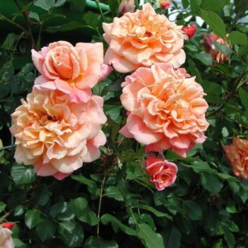 Роза Плетистая Aloha-2