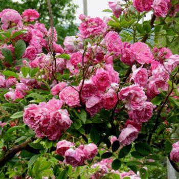 Роза Плетистая Amethyste-1