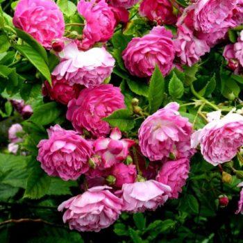 Роза Плетистая Amethyste-2